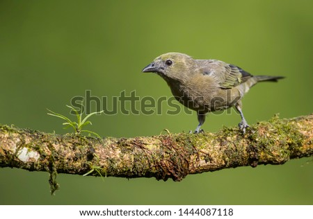 Palm tanager perfectly perched on a beautiful chosen perch #1444087118
