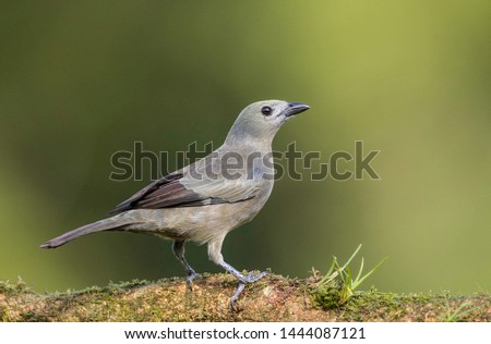 Palm tanager perfectly perched on a beautiful chosen perch #1444087121