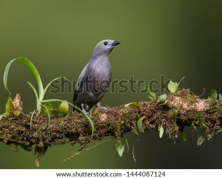 Palm tanager perfectly perched on a beautiful chosen perch #1444087124