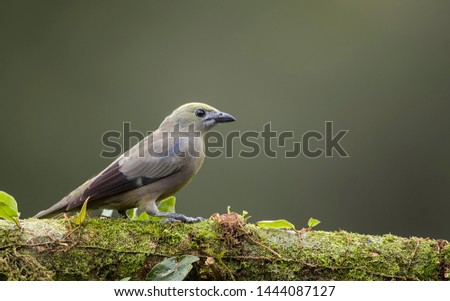 Palm tanager perfectly perched on a beautiful chosen perch #1444087127