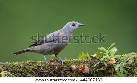 Palm tanager perfectly perched on a beautiful chosen perch #1444087130
