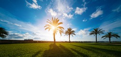 Palm tree and green grass field at sunset