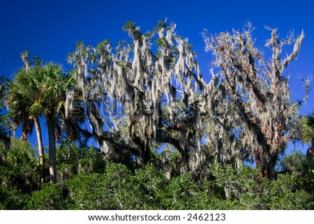 Palm tree and trees with Spanish moss against a bright blue sky.