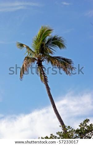 Palm Tree cloudy blue sky Sanibel Florida