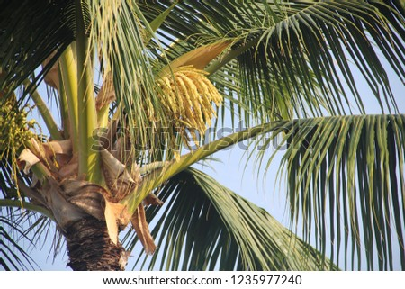Palm tree for landscaping in Hawaii, high resolution, tropical picture. Vacation pic.