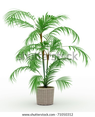 palm tree in a pot on a white background