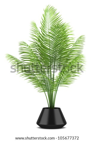 palm tree in black pot isolated on white background