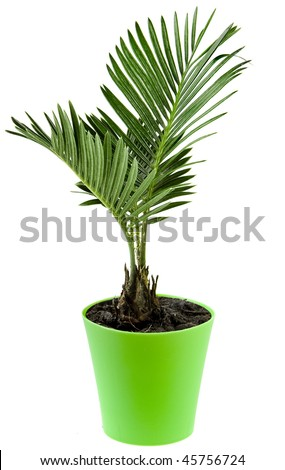Palm tree in flowerpot - stock photo