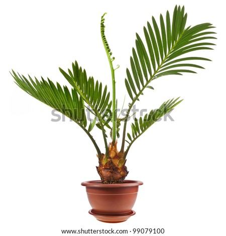 palm tree in flowerpot isolated on white background