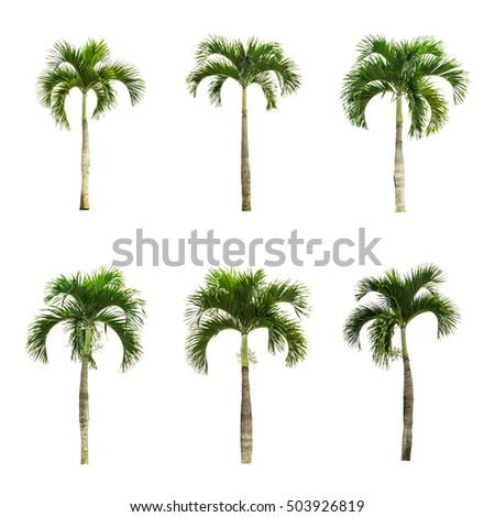 Palm tree isolate on a white background  - Shutterstock ID 503926819