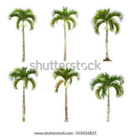 Palm tree isolate on a white background  - Shutterstock ID 503926825