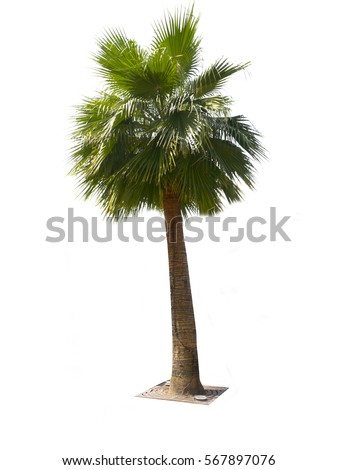Palm tree isolated on white background - Shutterstock ID 567897076