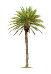 Palm tree isolated on white background with clipping paths for garden design. Tropical trees popularly used to decorate the garden outside the building.