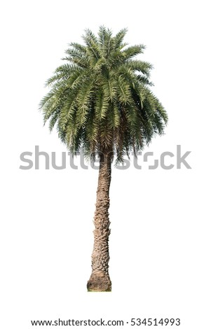 palm tree isolated white background