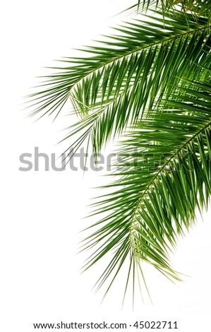Palm tree leaves - stock photo