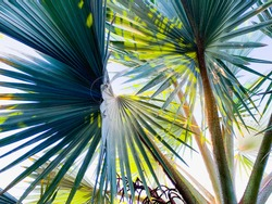 Palm tree leaves close up against clear blue sky. Floral background