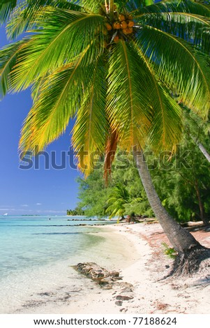 Palm tree, Moorea, French Polynesia - stock photo