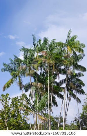 Palm tree of Acai do Pará or acai berry of the Amazon with bunches of flowers. Scientific name - Euterpe oleraceae