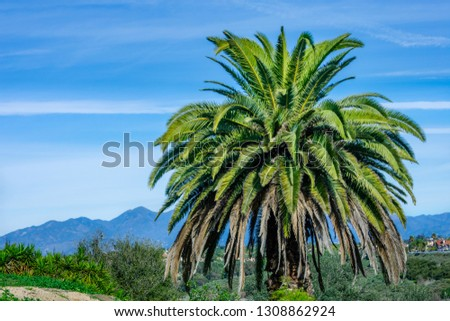 Palm tree on blue sky and mountains background, California. Beautiful summer natural background. #1308862924