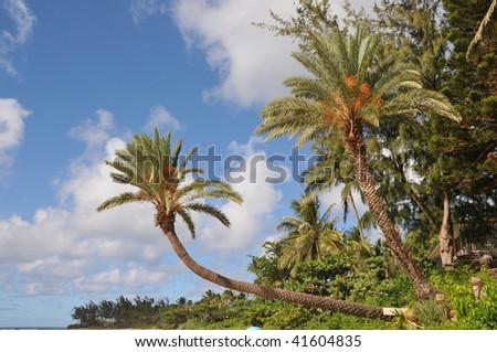 stock-photo-palm-tree-on-oahu-41604835.jpg