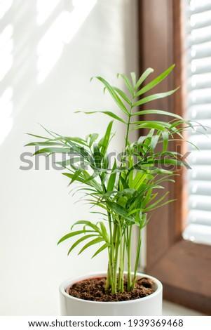 palm tree on the windowsill, Chamaedorea elegans, brown window Stock fotó ©