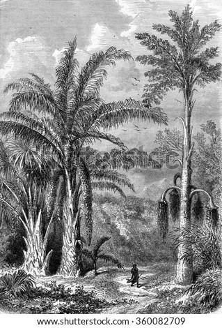 Palm Tree, Raphia of Madagascar, Caryota the Malabar, vintage engraved illustration. Magasin Pittoresque 1870. Photo stock ©