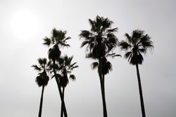 Palm tree silhouettes. A cloudy day in Venice Beach, Los Angeles, California.