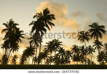 Palm tree sunset, Porto de Galinhas beach  Pernambuco, Brazil, South America.                     - Shutterstock ID 364719140