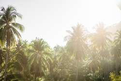 Palm trees against white sky in morning sunshine, Palm trees at tropical coast, coconut tree plantation, summer tree.nature background.Morning background, Good Environment, relax chill out image.