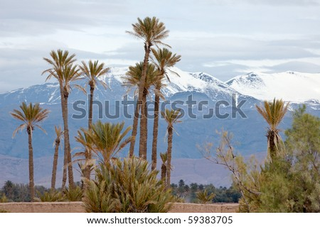 Palm trees and atlas mountain after snowing