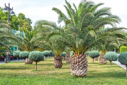 Palm trees and small trimmed ornamental trees on the green lawn of Primorsky Boulevard