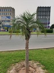 Palm Trees are a botanical family of perennial lianas, shrubs, and trees. They are the only members of the family Arecaceae, which is the only family in the order Arecales. They grow in hot climates