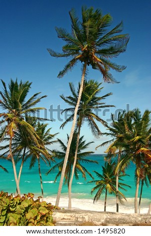 palm trees at Bottom Bay, Barbados