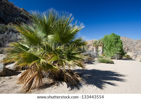 Palm trees at Cottonwood Springs oasis in Joshua Tree National Park in California