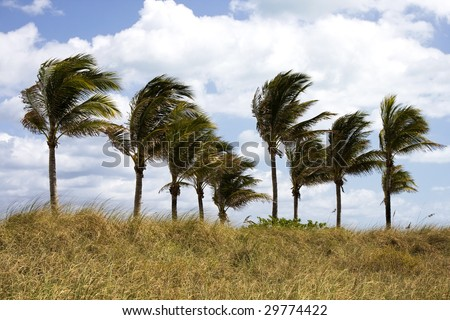Palm Trees Blowing in the Wind in Florida - stock photo