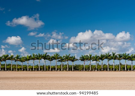 Palm trees in the Agricultural and Rural Development Zones just east of  Everglades National Park near Homestead, Florida