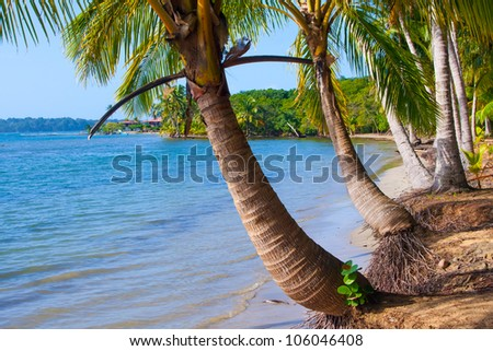 Palm trees on Starfish beach Bocas Del Toro Panama