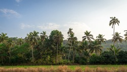 Palm trees. Rainforest. Thickets of dense green plants. The jungle background. The lush flora of the tropics. Coconut Palms, trees, creepers on sunny day.