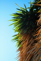 Palm trees spikes agains the blue sky on the back.