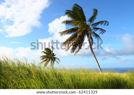 Palm trees sway in the wind on the Caribbean island Saint Kitts