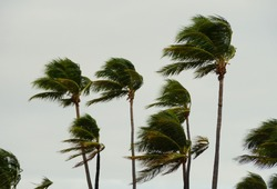 Palm trees swaying during a windy day at Fort Lauderdale Beach, Florida, U.S.A