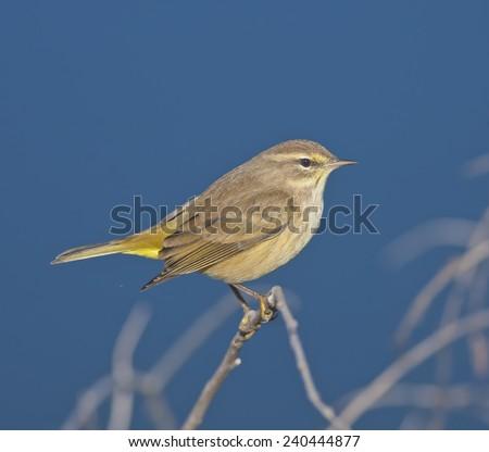 stock-photo-palm-warbler-sitting-pretty-latin-name-dendroica-palmarum-240444877.jpg