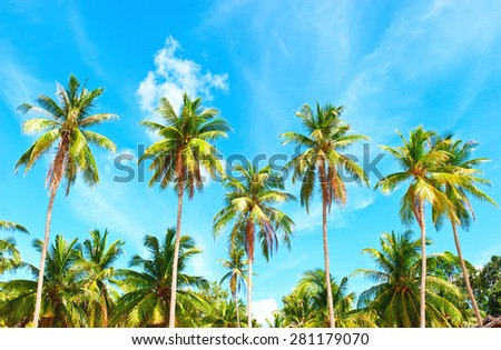 Palm with coconut palm trees under blue sky. #281179070