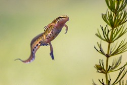 Palmate newt (Lissotriton helveticus) colorful aquatic amphibian male swimming in freshwater habitat of pond. Underwater wildlife scene of animal in nature of Europe. Netherlands.