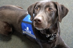 Palmer the chocolate Labrador retriever, an expressive animal, lays looking eagerly off to the left while wearing a blue