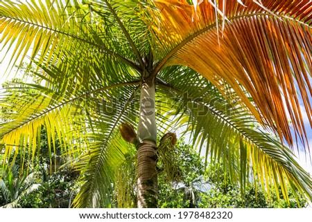 Palmiste palm (Deckenia nobilis), known as 'millionaire's salad palm' with prickly purses (palm's hearts) and spaghetti-like flowers, in Vallee de Mai Nature Reserve on Praslin Island, Seychelles, Stock fotó ©