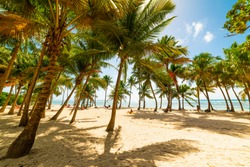 Palms and sand in Bois Jolan beach in Guadeloupe, French west indies. Lesser Antilles, Caribbean sea
