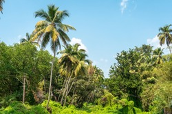 Palms background. Rainforest. Jungles. Thickets of dense green plants. The lush flora of the tropics. Palms, trees, creepers on blue sky.