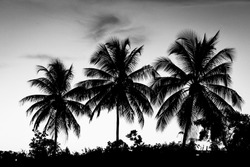 palmtree black and white Silhouette