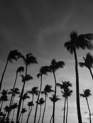 Palmtrees from below in black and white with a moon in the evening sky